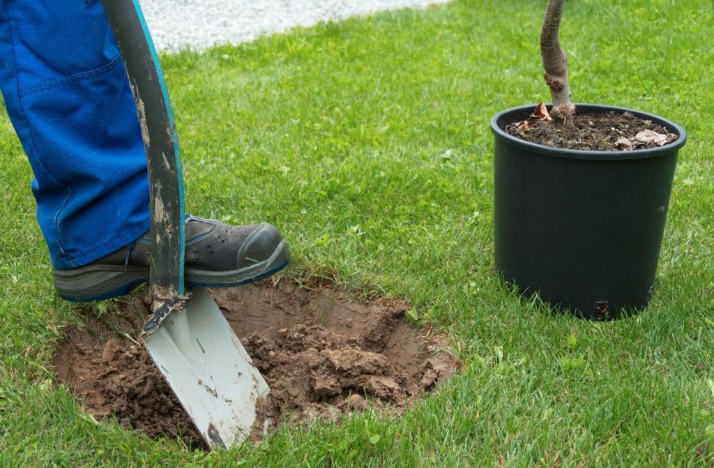 Gardener planting an apple tree in to a prepared hole - variety is Bramley